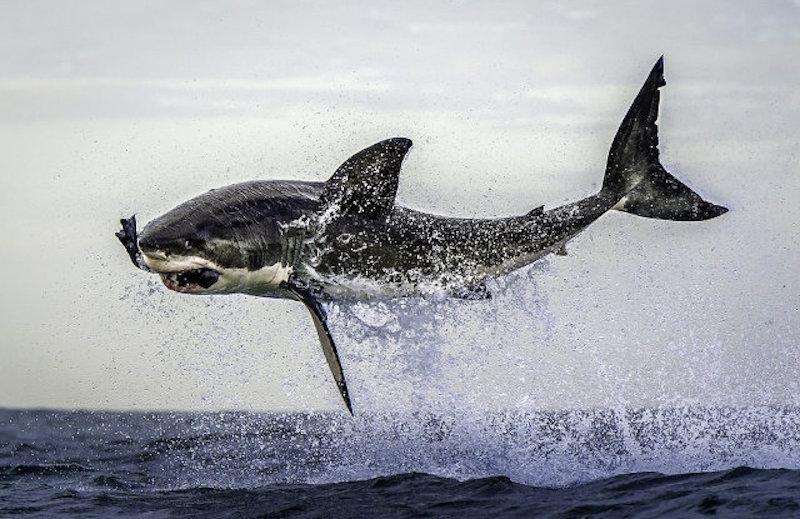 requin blanc chasseur prédateur phoque saut afrique du sud