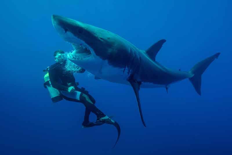 grand requin blanc plongeur profondeur squale