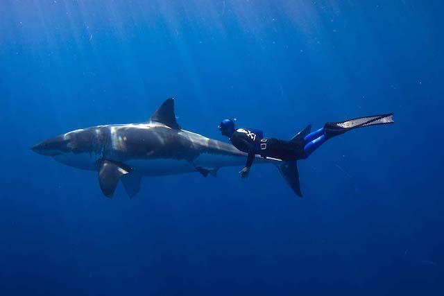 requin blanc plongeur confiance pas de danger