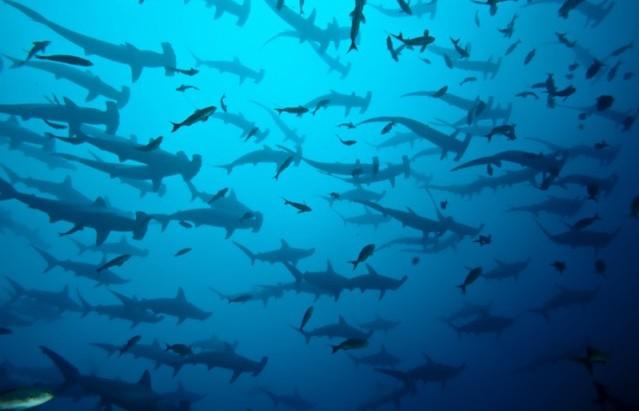 requin marteau banc espèce en danger